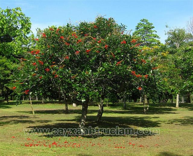 Cây Osaka đỏ được trồng tại khuôn viên Bà Vì