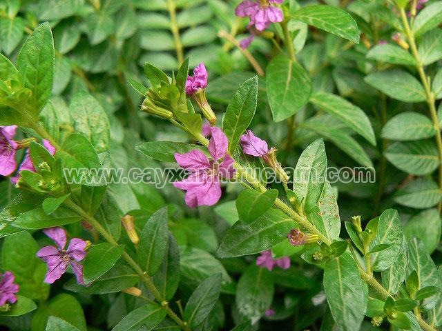 Cẩm tú mai được trồng tại vườn ươm cây xanh
