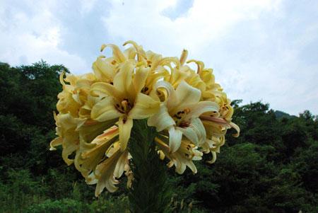 Cây hoa ly cao 2 m nở 65 bông