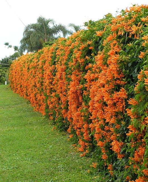 Cây rạng đông được trồng làm hàng rào