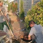 Công nhân đang trồng cây hồng lộc