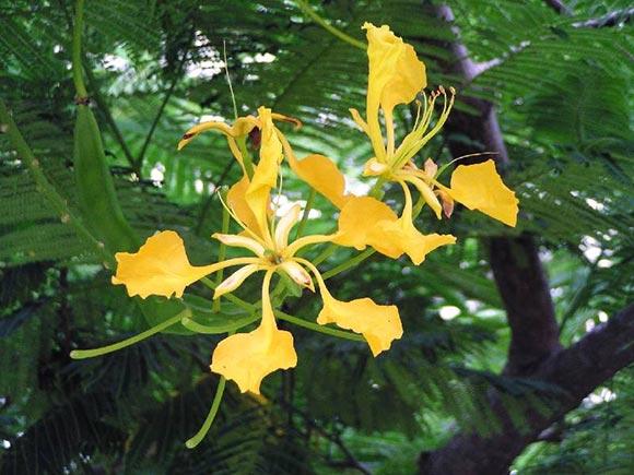 Hoa - Cây phượng vĩ hoa vàng