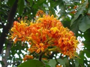 Hoa cây vàng anh