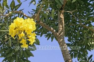 Hoa chuông vàng được nở vào tháng 3 đến tháng 7