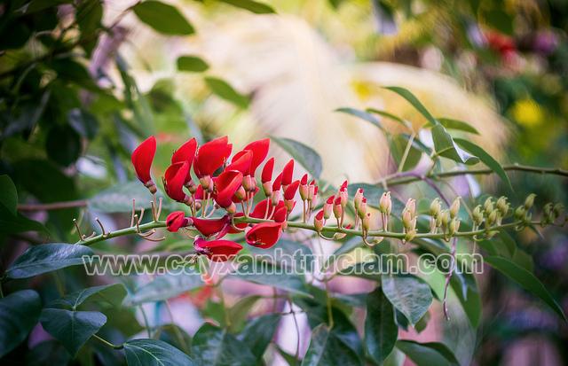 Hoa màu đỏ thể hiện cho sắc thái rực