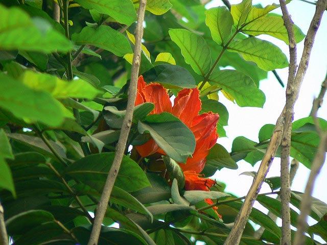 Lá cây sò đo cam