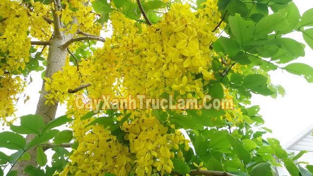 Muồng hoa vàng thường có những tên gọi khác nhau như, Osaka hoa vàng, muồng hoàng yên, bọ cạp hoa vàng, muồng hoàng hậu.