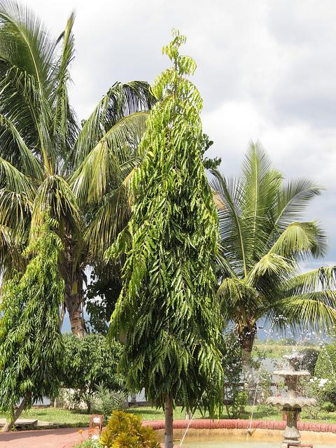 Cây Hoàng Nam trồng làm cây trang trí tiểu cảnh sân vườn