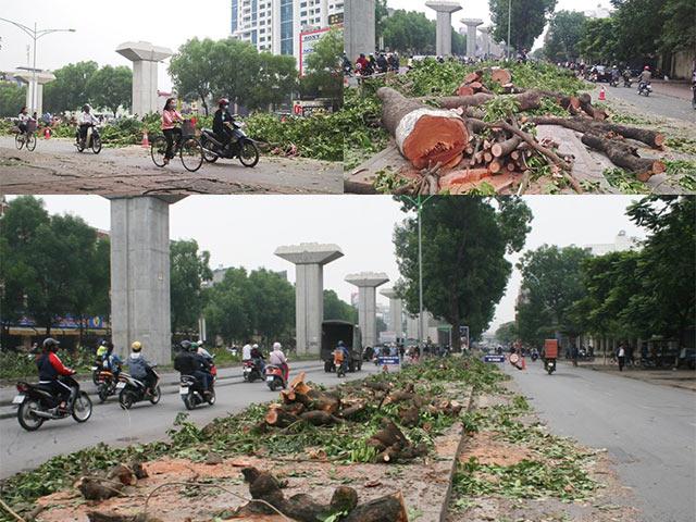 những hàng cây xà cừ cổ đại thụ như thế này và liệu có còn nữa hay không trên con đường Nguyễn Trãi này