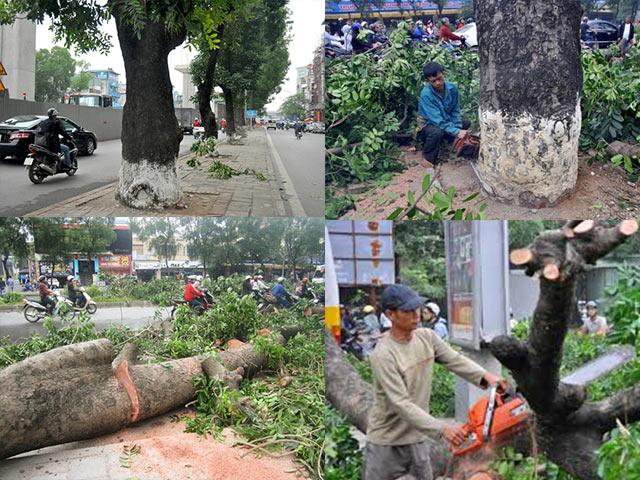 Hà Nội: Gần 100 cây xà cừ cổ trên đường Nguyễn Trãi bị đốn hạ