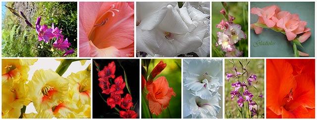 Những màu hoa Lay Ơn
