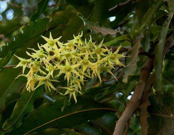 Hoa - Cây Hoàng Nam