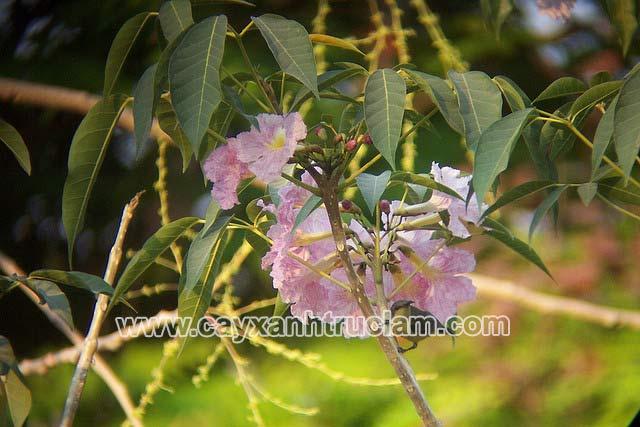 Chùm hoa màu tím treo lủng lẳng làm tăng thêm vẻ đẹp của cây Kèn Hồng