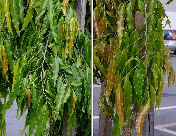 Lá - Cây Hoàng Nam