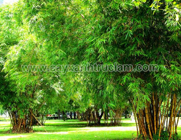 Tre Vàng Sọc Xanh trồng trong công viên