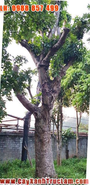 Cây xoài Đại Thụ - Bán Cây Xoài Đẹp - Cây Xoài Quả Ngon - Cây Xoài Tay Phật