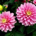 Quy trình chăm sóc và trồng hoa thược dược trong chậu