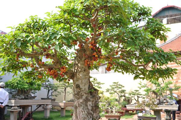 Cây sung ra nhiều trái