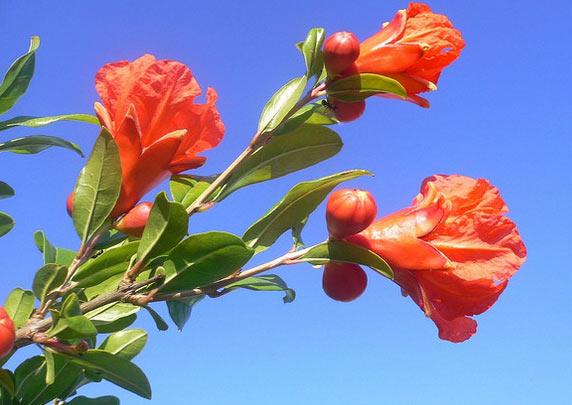 Hoa - Cây Thạch Lựu
