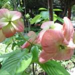 cây hoa én hồng