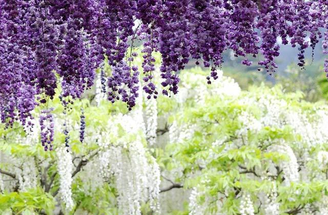 Tử Đằng là một chi thực vật có hoa trong gia đình cây đậu Fabaceae cùng với 9 loài cây thân gỗ leo khác.