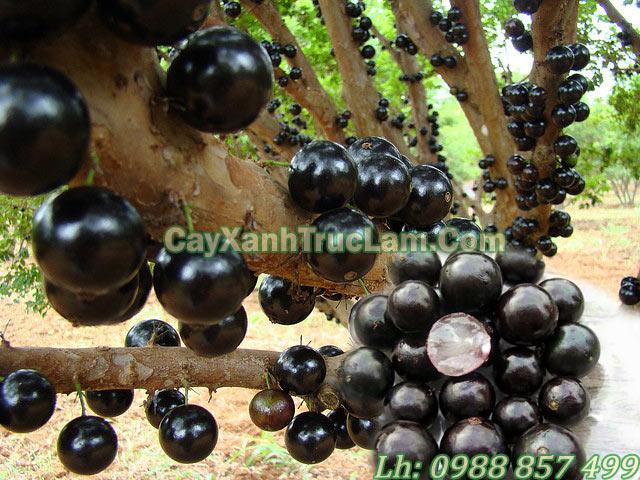 hình ảnh về cây Nho Thân Gỗ Jabuticaba