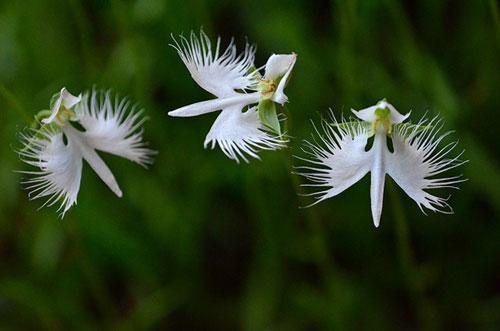 Trúc Lâm Bán cây  Lan Bạch Hạc hay Diệc Bạch  Tên Khoa Học Pecteilis radiate