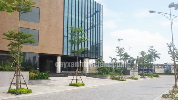 Bao quanh khu CT9 được trồng cây Bàng Đài Loan