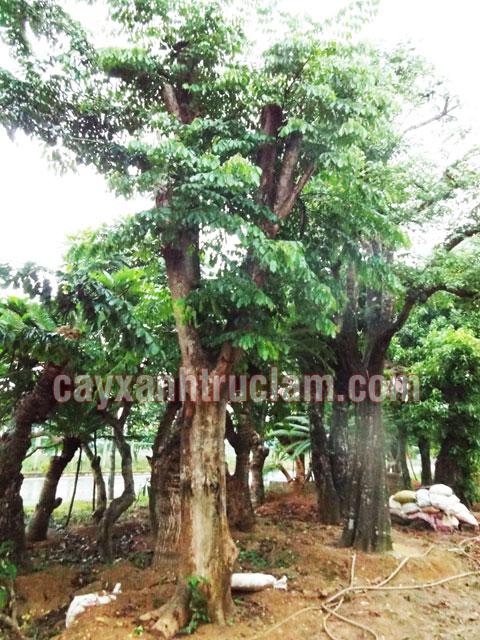 Cây Giáng Hương đã được đôn đảo ủ tại Vườn Ươm Trúc Lâm