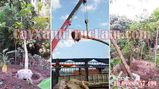 Chuyên cung cấp cây Lát Hoa, Lát hoa công trình, Trồng Lát Hoa cho Đô thị, Giá Tốt Lh ngay 0988 857 499.