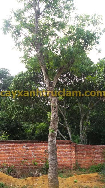Cây Lộc Vừng, trồng mua bán cây lộc vừng - cây xanh, trồng cây xanh, cây bóng mát, cây cảnh - LH 0988 857 499 - web: cayxanhtruclam.com