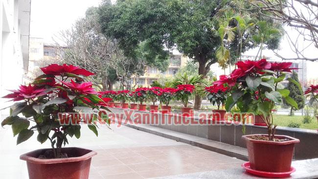 Cây Trạng Nguyên, Cung cấp cây trang nguyên cho trường đại học BK HN