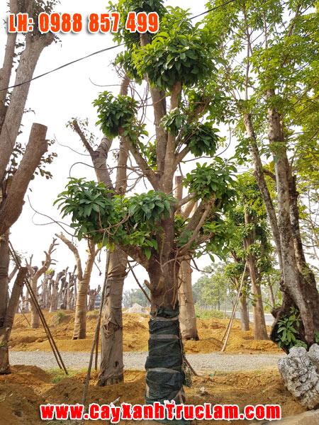 Cây Tha Lahay còn gọi Sa La, cây Đầu lân, cây Hàm rồng, Ngọc Kỳ Lân