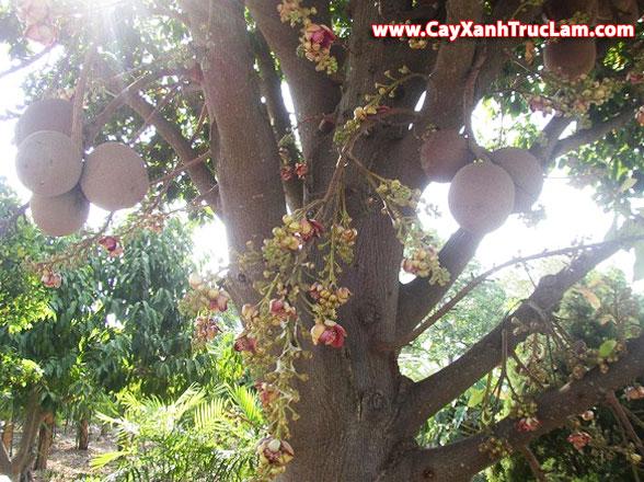 Trồng Mua Bán: Cây Sala hay còn gọi Sa La, cây Đầu lân, cây Hàm rồng, Ngọc Kỳ Lân lh mr Khánh 0988 857 499