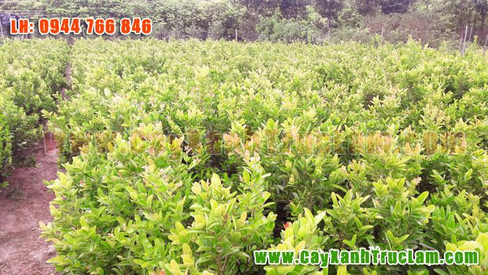Cung cấp cây Si Rô cho các tỉnh trên cả nước: Hà Nội, Sài Gòn, Đà Nẵng, Quản Nam, Ninh Bình, Hạ Long, Nha Trang....
