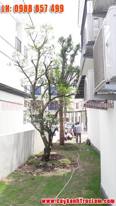 Trồng cây Mãng Cầu tại biệt thư nhà vườn Long Cảnh Tây Vinhomes Thăng Long An Khánh