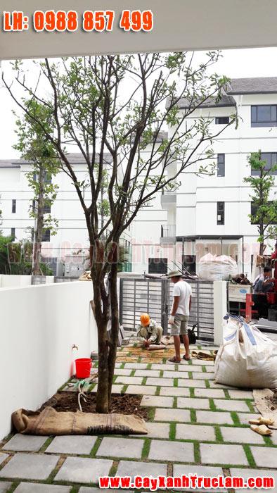 Trồng cây Bưởi Quê tại biệt thư nhà vườn Long Hưng Vinhomes Thăng Long An Khánh