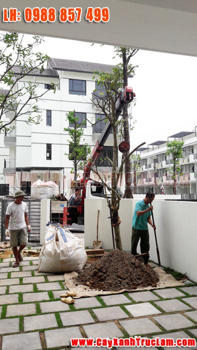 Trồng cây Khế Ngọt tại biệt thư nhà vườn Long Hưng Vinhomes Thăng Long An Khánh