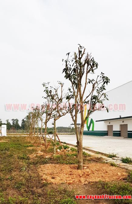 Hàng Xoài,Dự án trồng cây xanh tại BioSpring Khu Công nghệ Cao Hòa Lạc - Tư vấn, thiết kế, cảnh quan cây xanh cho nhà mày khu CNC Hòa Lạc