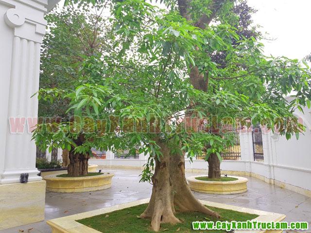 Tư vấn thiết kế khuôn viên cây xanh tại 14 phùng hưng cầu đen hà đông - cây xanh - cây cảnh - cây ăn quả - cây bóng mát - cây công trình