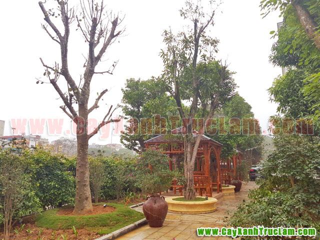 Cây Mít, cây trứng gà: Tư vấn thiết kế khuôn viên cây xanh tại 14 phùng hưng cầu đen hà đông - cây xanh - cây cảnh - cây ăn quả - cây bóng mát - cây công trình