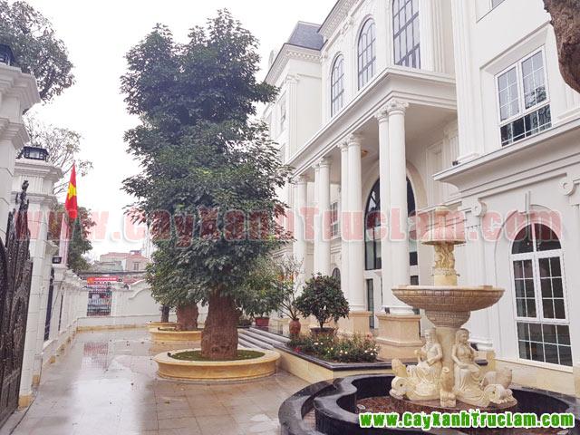 Cây Nhội, bồn Hoa Hồng: Tư vấn thiết kế khuôn viên cây xanh tại 14 phùng hưng cầu đen hà đông - cây xanh - cây cảnh - cây ăn quả - cây bóng mát - cây công trình