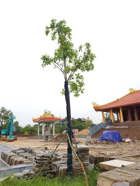 Cây Sala, Ngọc Kỳ Lân được trồng mới tại khu tượng niệm TNXP 915 Thái Nguyên