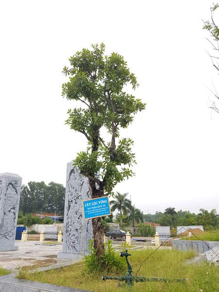 Di chuyển cây Lộc Vừng của đồng chí Trần Quốc Tỏ ủy viên ban chấp hành trung ương đảng, bí thư tỉnh ủy Thái Nguyên