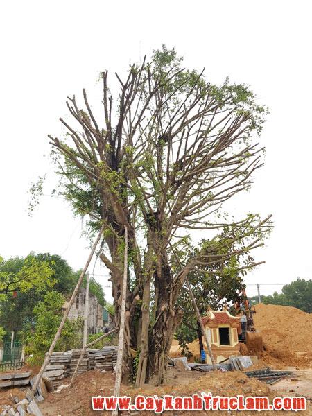 Di Chuyển cây Sanh tại khu tưởng niệm TNXP đại đội 915 Thái Nguyên