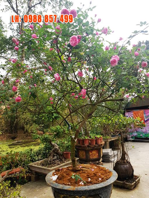 Cây Hồng Cổ Sapa, giá cây hồng cổ sapa, Bán Cây Hoa Hồng,hồng cổ sapa thân gỗ  hồng cổ sapa có mấy màu  hồng cổ sapa có mấy loại,  kỹ thuật trồng hoa hồng cổ sapa,  hình ảnh hồng cổ sapa
