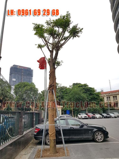 Trồng cây Giáng Hương tại Tổng Cục Khí Tượng Thủy Văn
