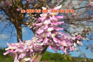 Ý nghĩa hoa đỗ mai - Cây hoa đỗ mai - Cây đào đậu - Điệp anh đào - Hình anh cây Đỗ mai - Hoa đỗ mai Vũng Tàu - Mùa hoa đỗ mai - Cây điệp anh đào