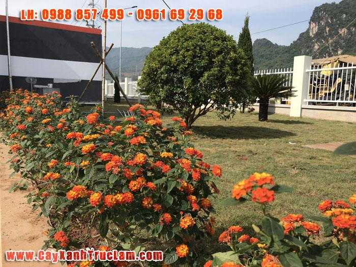 Khuôn viên cảnh quan nhà máy LONG BINH ELECTRONICS (용인전자 베트남 법인) trồng cây hoa Ngũ Sắc với ý nghĩa mang đến nhiêu điều may măn cho cty