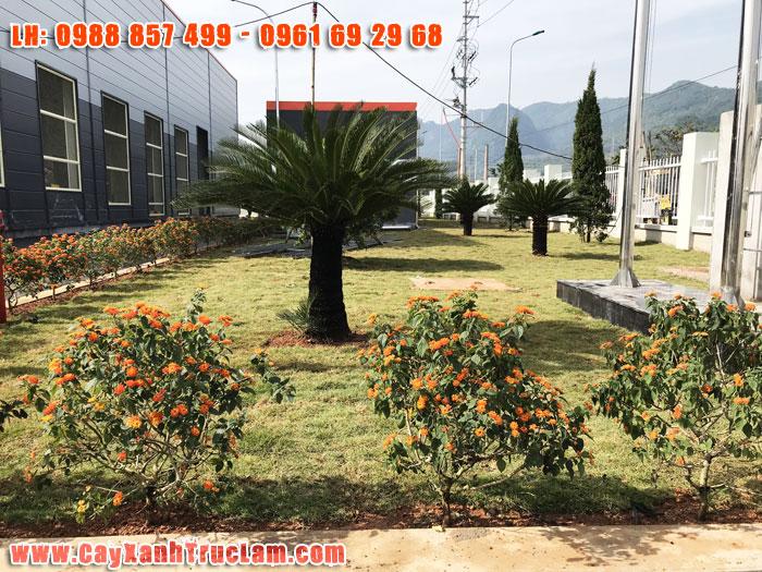 Ngay cổng vào nhà máy cty cũng được trang trí bằng những loại cây hoa ngũ sắc, vạn tuế, tùng tháp, ngâu